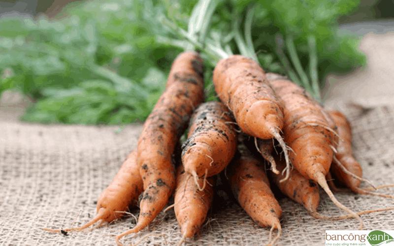 trồng cà rốt