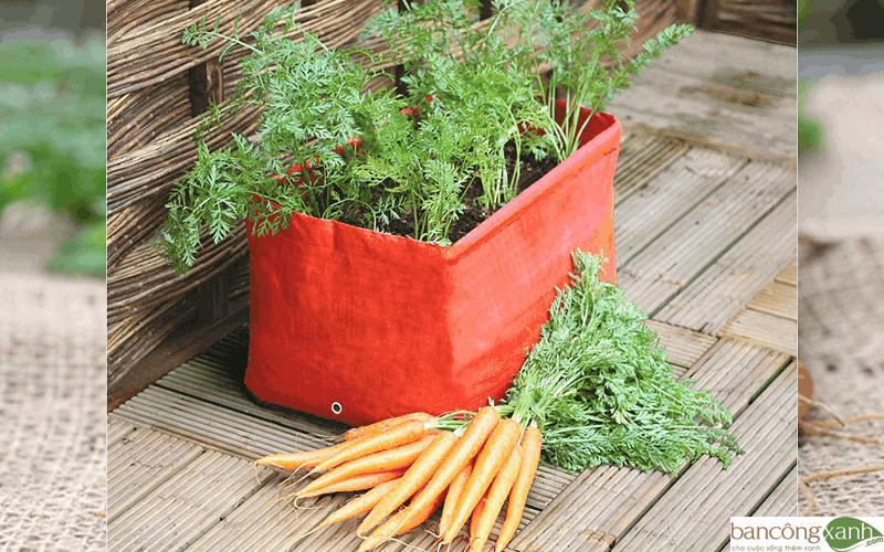 trồng cà rốt trong nhà