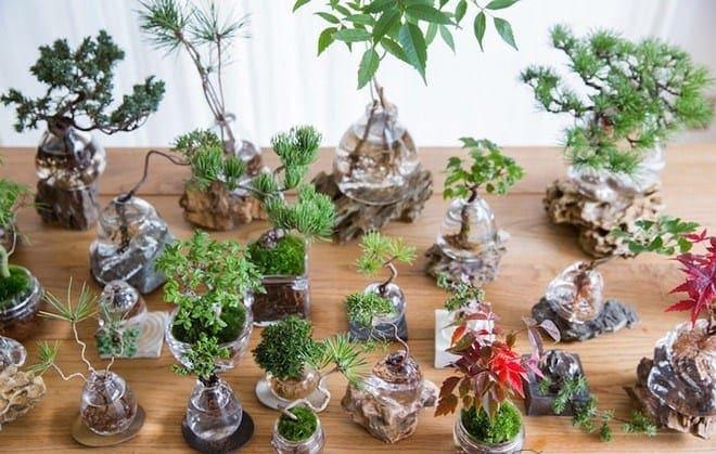 Kỹ thuật trồng và chăm sóc cây cảnh thủy canh luôn xanh tươi