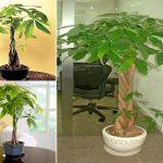 Kỹ thuật trồng và chăm sóc cây kim ngân