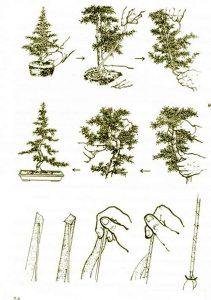 Kỹ thuật uốn cây cảnh bonsai 2