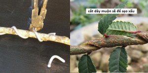 Kỹ thuật uốn cây cảnh bonsai 3