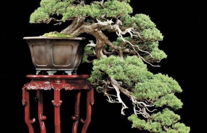 Kỹ thuật uốn cây cảnh bonsai