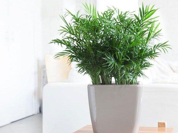 Ý nghĩa phong thủy của các loại cây cảnh văn phòng - Cây cau tiểu trâm
