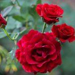 Ý nghĩa các loại hoa hồng – Hoa hồng đỏ 1