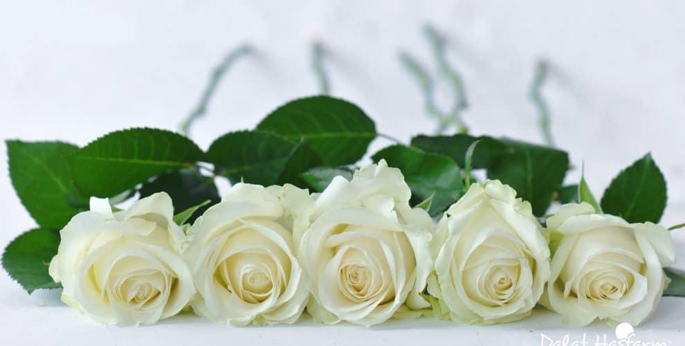 Ý nghĩa các loại hoa hồng – Hoa hồng trắng