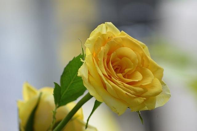 Ý nghĩa các loại hoa hồng – Hoa hồng vàng