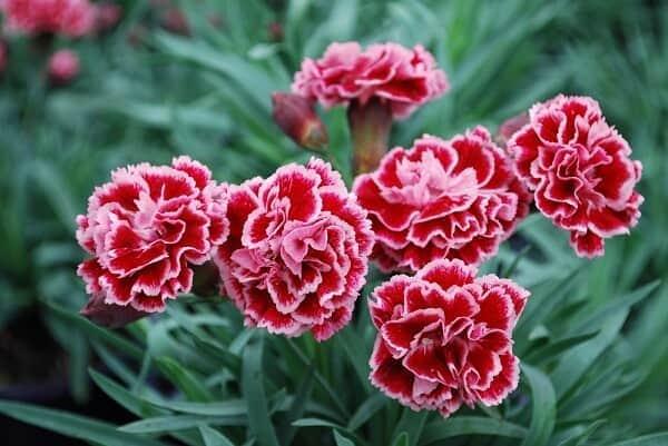 Ý nghĩa hoa cẩm chướng theo từng màu 1