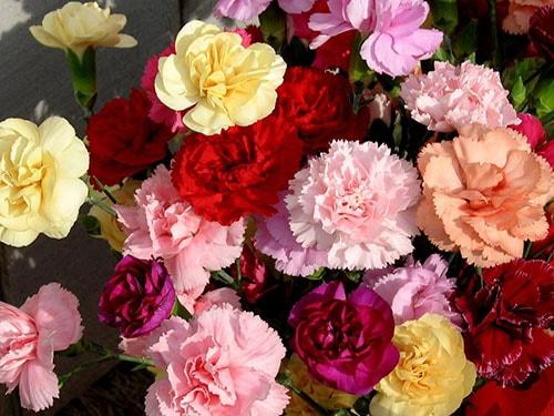 Ý nghĩa hoa cẩm chướng theo từng màu