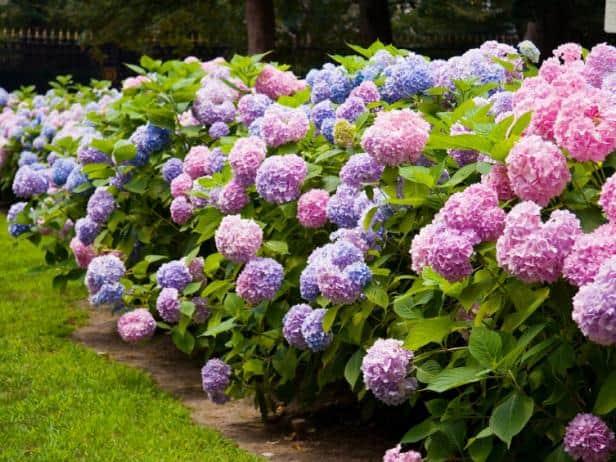 Ý nghĩa hoa cẩm tú cầu 1 1