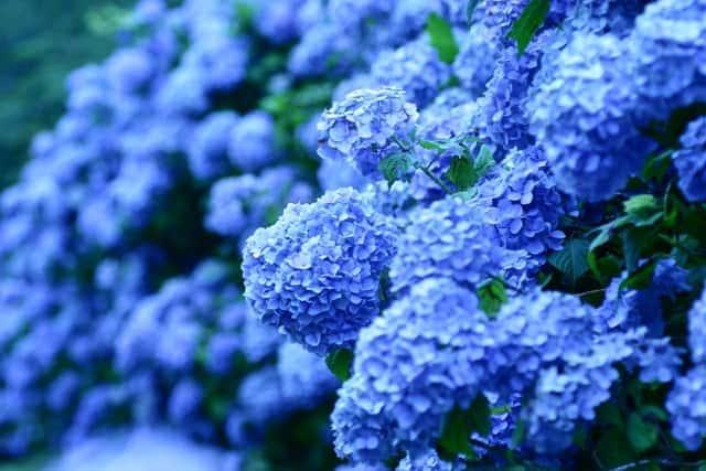 Ý nghĩa hoa cẩm tú cầu 1