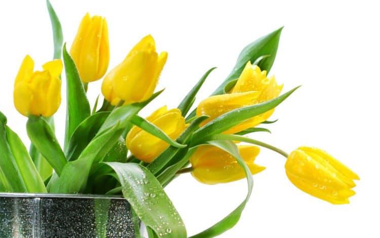Ý nghĩa hoa tulip