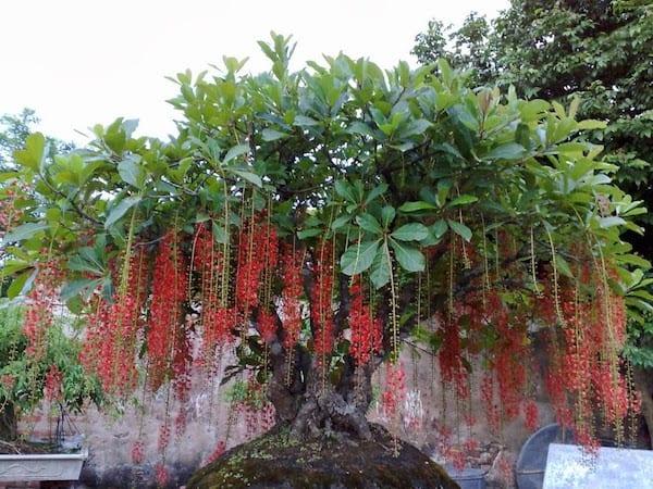 Bộ cây cảnh tam đa gồm những cây gì – Cây lộc vừng