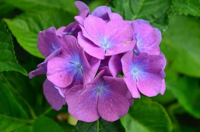 Các loại hoa màu tím – Hoa cẩm tú cầu