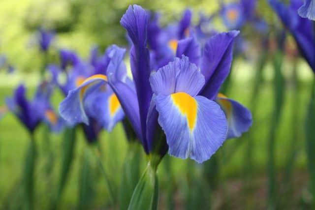 Các loại hoa màu tím – Hoa diên vĩ