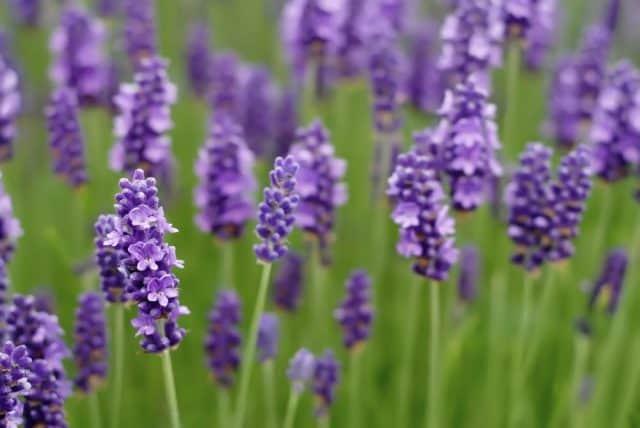 Các loại hoa màu tím – Hoa oải hương