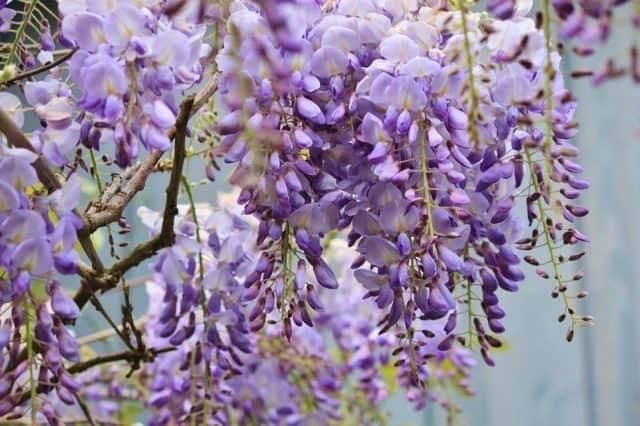 Các loại hoa màu tím – Hoa tử đằng