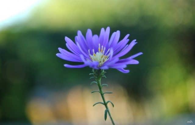 Các loại hoa màu tím – Hoa thạch thảo