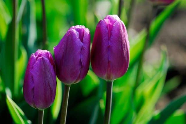 Các loại hoa màu tím – Hoa tuylip tím