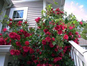 Cây cảnh làm mát nhà mùa hè – Cây hồng leo