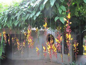 Cây cảnh làm mát nhà mùa hè – Hoa dây leo móng cọp