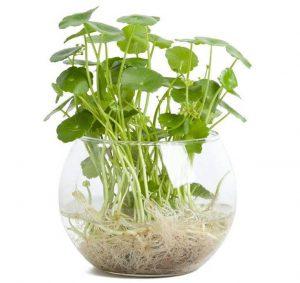 Cây cảnh thủy sinh – Cây cỏ đồng tiền