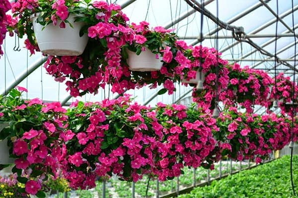 Hoa ban công cho mùa hè – Hoa dừa cạn