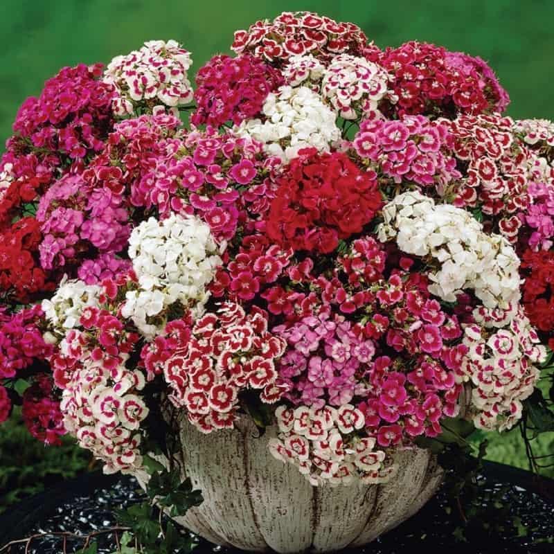 Hoa tặng sinh nhật đẹp và ý nghĩa – Hoa cẩm chướng ngọt ngào