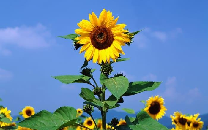 Hoa tặng sinh nhật đẹp và ý nghĩa – Hoa hướng dương rực rỡ
