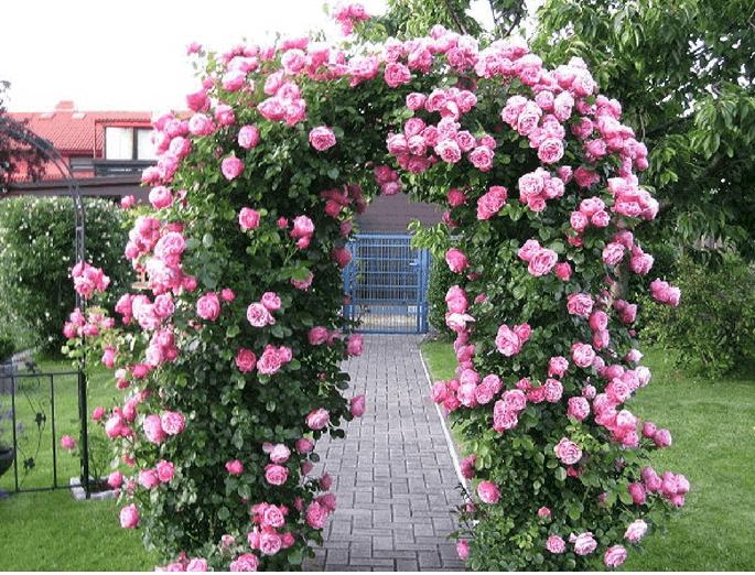 Kỹ thuật trồng và chăm sóc hoa hồng 1