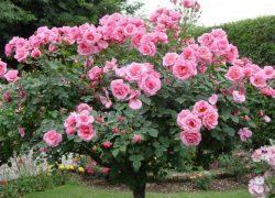 Kỹ thuật trồng và chăm sóc hoa hồng