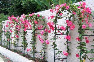 Kỹ thuật trồng và chăm sóc hoa hồng anh để hoa luôn rực rỡ