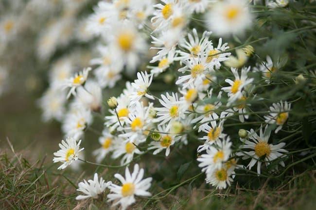 Những loài hoa màu trắng mang vẻ đẹp tinh khôi – Hoa cúc họa mi