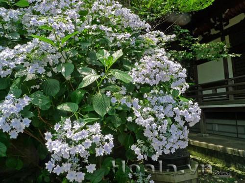 Những loài hoa màu trắng mang vẻ đẹp tinh khôi – Hoa cẩm tú cầu Nhật Bản