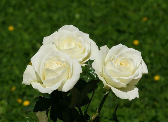 Những loài hoa màu trắng mang vẻ đẹp tinh khôi – Hoa hồng trắng