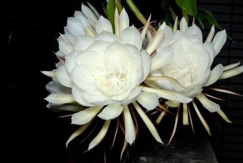 Những loài hoa màu trắng mang vẻ đẹp tinh khôi – Hoa quỳnh