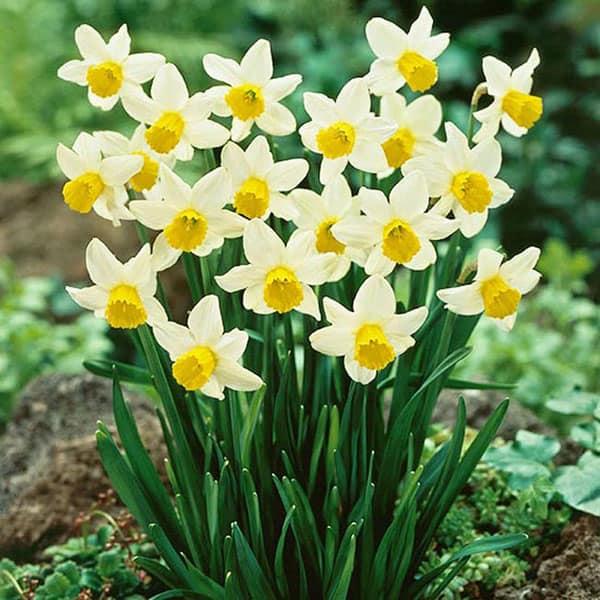 Những loài hoa màu trắng mang vẻ đẹp tinh khôi – Hoa thủy tiên