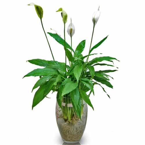 Những loại cây thanh lọc không khí trong nhà nên trồng – Cây lan ý