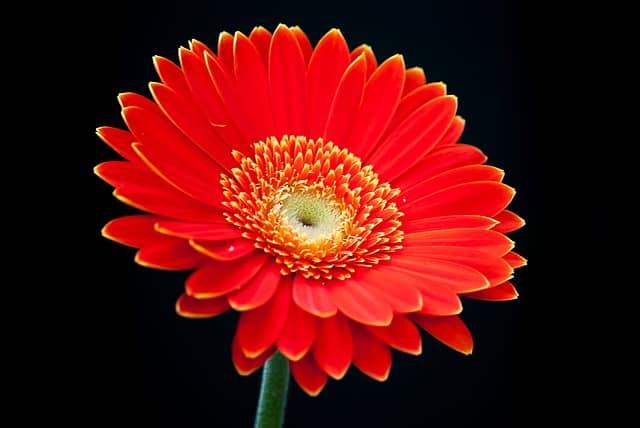 Những loại hoa màu đỏ đại diện cho tình yêu – Hoa đồng tiền đỏ