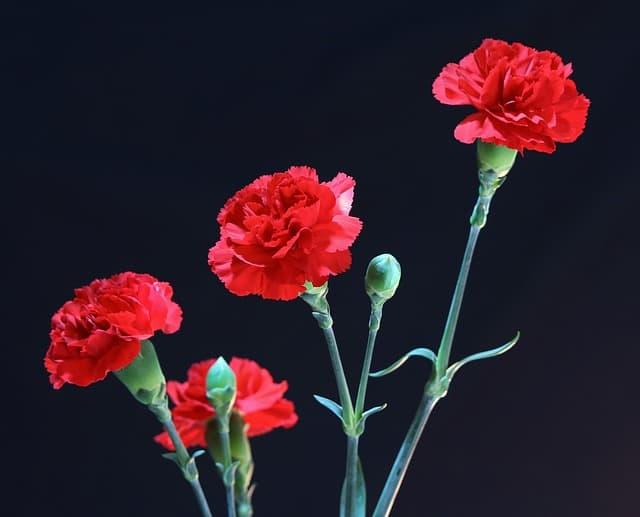 Những loại hoa màu đỏ đại diện cho tình yêu – Hoa cẩm chướng đỏ