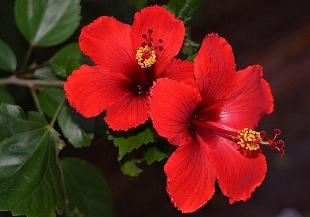 Những loại hoa màu đỏ đại diện cho tình yêu – Hoa dâm bụt đỏ