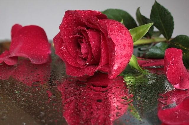 Những loại hoa màu đỏ đại diện cho tình yêu – Hoa hồng đỏ