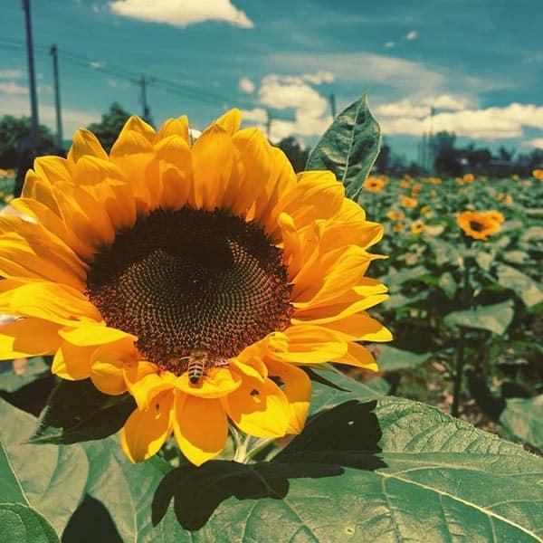 Những loại hoa màu vàng – Hoa hướng dương