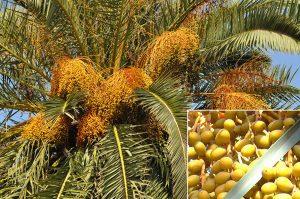 cây dừa cảnh phong thủy 1 2