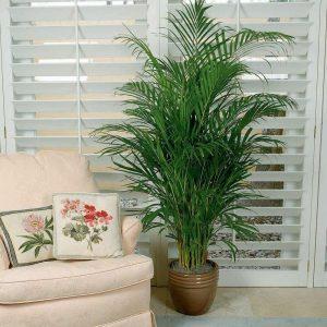 cây dừa cảnh phong thủy 1
