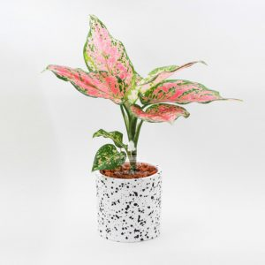 Cách chăm sóc cây vạn lộc để ra hoa theo ý muốn 1