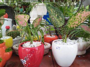 Cách chăm sóc cây vạn lộc để ra hoa theo ý muốn