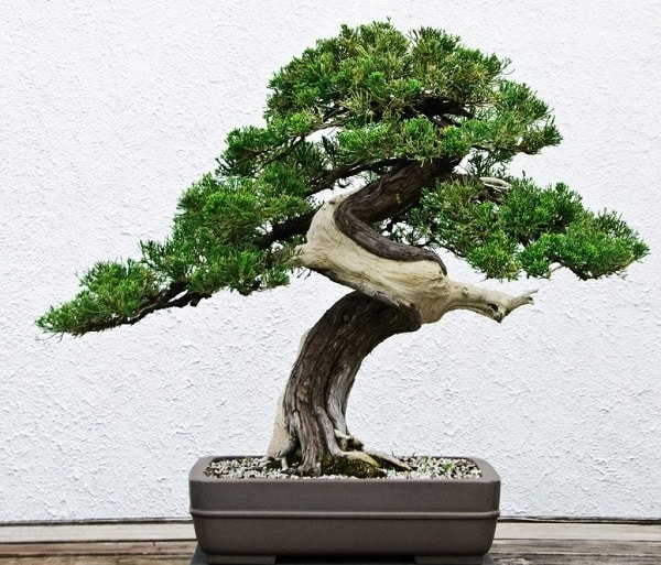 đất trồng cho cây bonsai 2