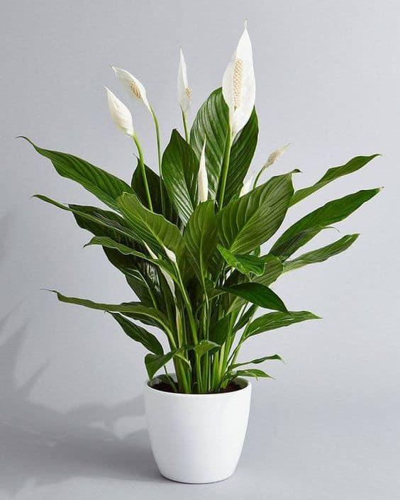Người mệnh Kim trồng cây gì – Cây lan ý