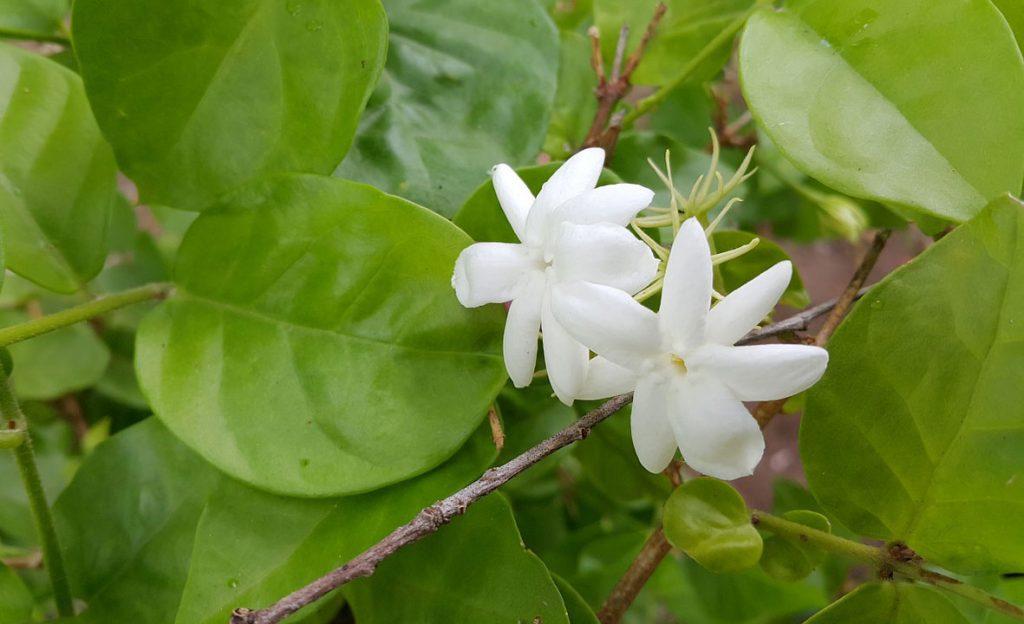 Những loài hoa tỏa hương thơm – Hoa nhài